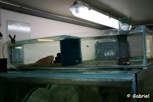 Aquarium d'alevinage